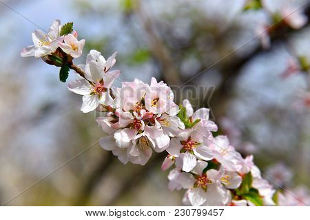 Blooming Cherry. White Blossoms On The Branch On Natural Blurry Background During Spring Blooming .