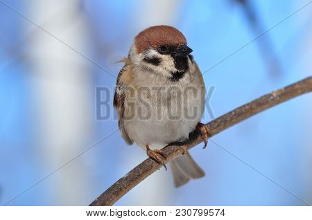 Eurasian Tree Sparrow (passer Montanus) Sits On A Thin Branch Very Close.