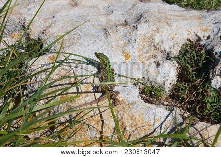 The Green Lizard  With Long Tail Enjoys The Sun. Creepy In The Wild Nature. Wild Life Next To Man