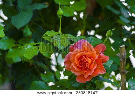 Beautiful Fresh Orange Rose In The Garden.