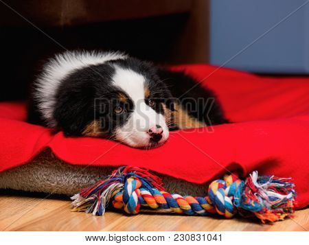 Sad Australian Shepherd purebred puppy, 2 months old with toy. Black Tri color Aussie dog at home on the lair.