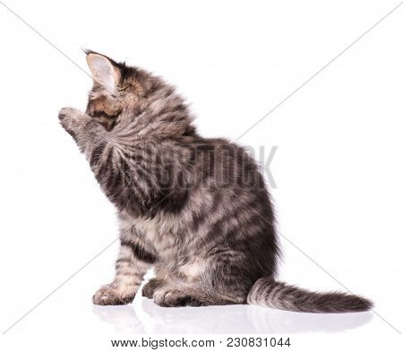 Maine Coon kitten 2 months old licks paw and washes his face. Cat isolated on white background. Portrait of beautiful domestic kitty.
