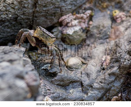 Small Crab Stands At Attention While Scurrying Across Rocks In A Tide Pool