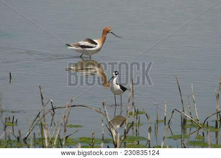 A Black-necked Stilt With An American Avocet In The Background, Hunting In Shallow Wetlands.