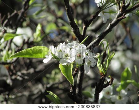 Cherry Blossom Branch Closeup, Seattle Wa Springtime 2015