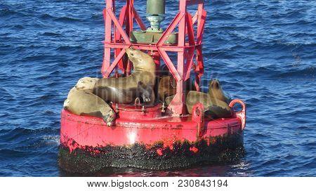 Sea Lions Off Dana Point Calif Coast On Buoy