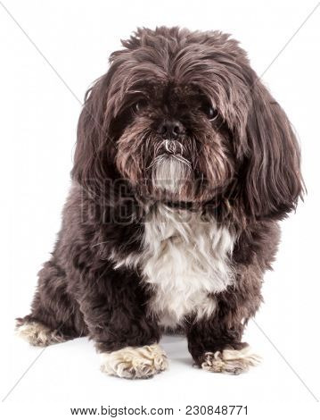 Shih Tzu dog purebred pet