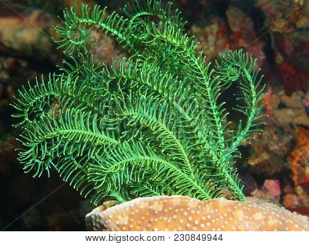 The Amazing And Mysterious Underwater World Of The Philippines, Luzon Island, Anilаo, Crinoid