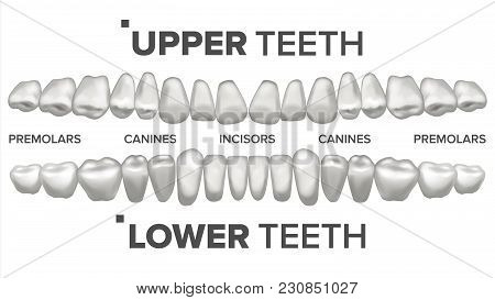 Human Teeth Set Vector. Dental Health. Incisor, Canine, Premolar, Molar Upper, Lower. Clean White To