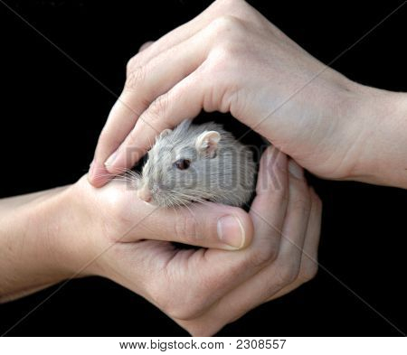 Woman'S Hands Holding A little gray Mouse poster