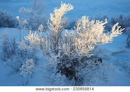 Birches And Pines Growing On Rocks In Winter. Hoarfrost On The Tree. Frost Is The Coating Or Deposit
