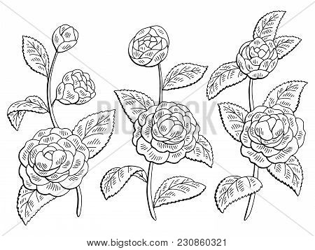 Camellia Flower Graphic Black White Isolated Sketch Set Illustration Vector