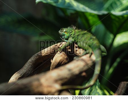 Lizard In Nature While Disguise Themselves In Green Color For Hunting And Hiding.