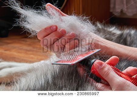 Concept Spring Moulting Dog. Boy Holds In Hands Lump Wool Siberian Husky And Rakers Brush. Husky Dog