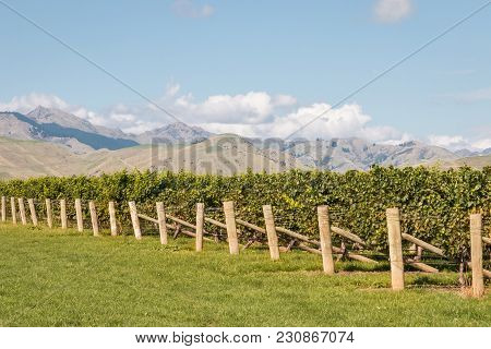Autumn Vineyard In Marlborough Region, New Zealand With Blue Sky And Copy Space