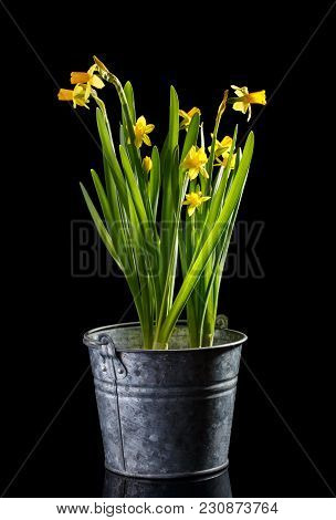 Beautiful Yellow Spring Narcissus Flowers In Metal Bucket Isolated On Black.
