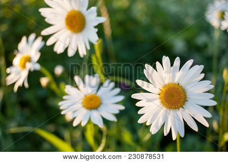 Sunlit Beautiful White Chamomiles. Natural Background With Soft Focus.