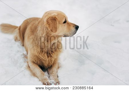 Picture Of Labrador Sitting On Snow At Winter Walk During Day