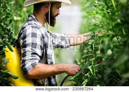 Man Spraying And Protecting Tomato Plant In Greenhouse