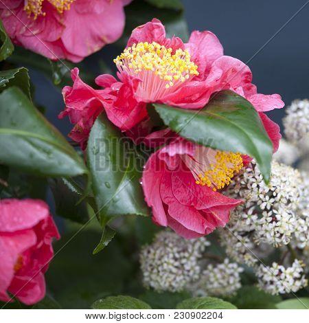 The Red Camellia Sasanqua And Sorbaria Sorbifolia