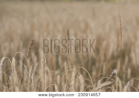 Harvest Season, Harvesting Crops. Field Of Golden Wheat, Ripe, Harvest. Wheat Spikelets, Cereal Grai