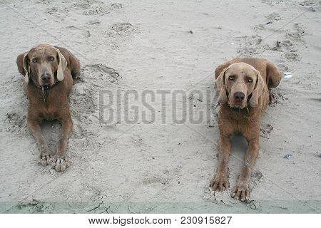 Two Weimaraners On The Beach Showing Obedience