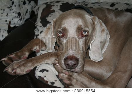 Weimaraner Curled Up On A Cow Hide Couch