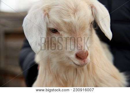 Goatling. The Domestic Goat (capra Aegagrus Hircus). The Domestic Goat  Is A Subspecies Of Goat Dome