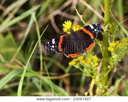 a red admiral butterfly vanessa atalanta resting on the yellow flowers of ragwort poster