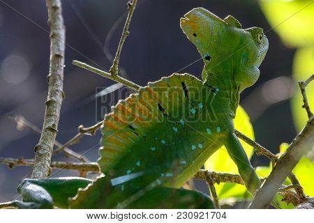 A Male Jesus Christ Lizard Cahuita National Park Costa Rica