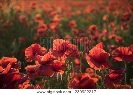 Sunlit Red Wild Poppy Are Shot With Shallow Depth Of Sharpness On A Background Of A Wheat Field. Lan