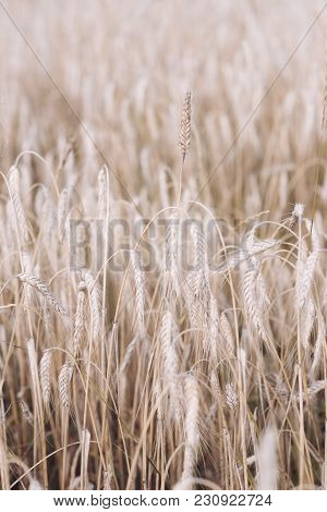 Agriculture, Farming, Cultivate. Field Of Golden Wheat, Ripe, Harvest. Wheat Spikelets, Cereal Grain