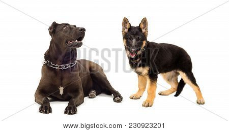 Staffordshire Terrier And German Shepherd Puppy, Isolated On White Background