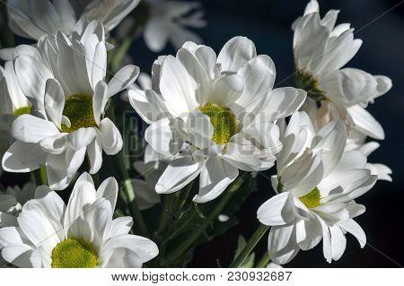 Few Beautiful White Spray Chrysanthemum Flowers, Macro