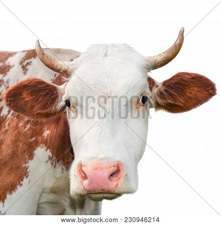 Funny cow looking at the camera isolated on white background. Spotted red and white cow with a big s