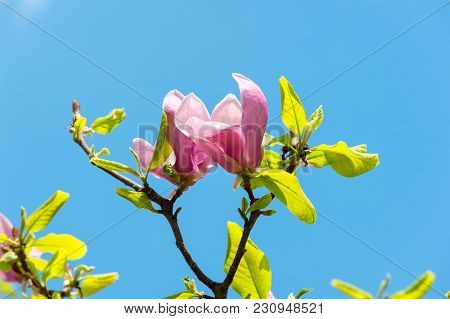 Bloom Of Magnolia Tree On Blue Sky. Bloom Of Spring Flowers On Sunny Day.