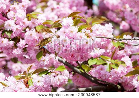 Cherry Tree Blossoming On Sunny Day On Floral Background. Sakura Flowers With Pink Petals In Spring.