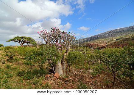 Endemic Plant Flowering Bottle Tree Adenium Obesum On The Island Socotra At Sunset, Diksam Plateau,
