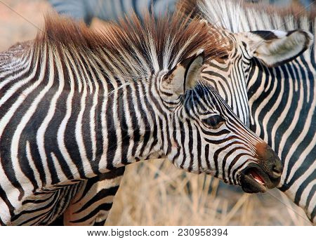 A Young Burchell Zebra Face With Mane Flowing And Mouth Slightly Open As If About To Bite Another Ze