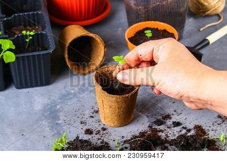 Transplanting, Planting, Sprinkling Seedlings On A Gray Concrete Background