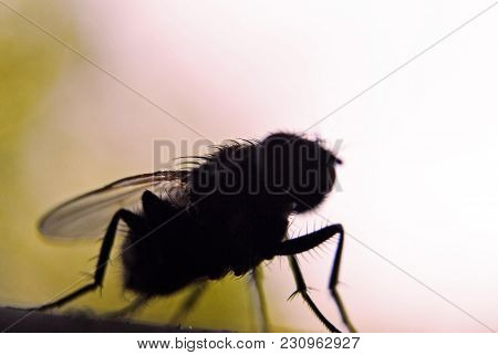 Fly Bug Insect Silhouette, Selective Focus. Entomophobia Or Infection Threat Concept