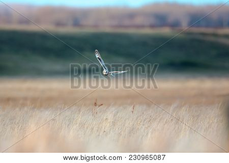 One Short Eared Owl Turning Over Brown Grassy Field With Green Background