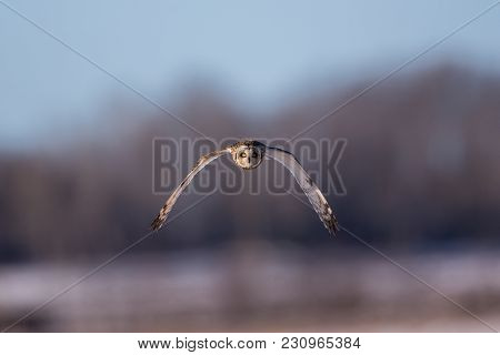 Short Eared Owl Close Up Flying Straight At Viewer With Soft Forest Background