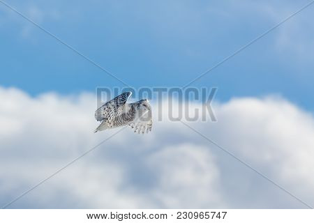 One Snowey Owl In Flight On Bright Clouds And Blue Sky Background