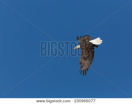 One Mature Bald Eagle Performing A Dramatic Feather Raising Turn In Blue Sky, Top Side View
