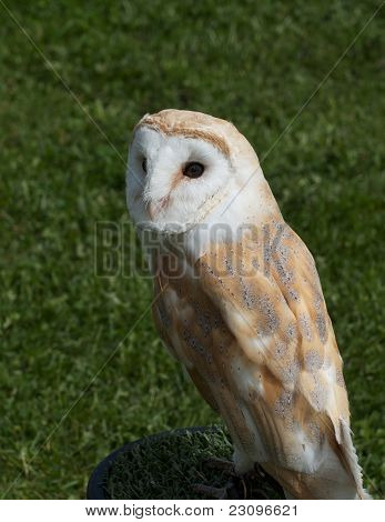 Beautifully marked Barn owl with white heart shaped face poster
