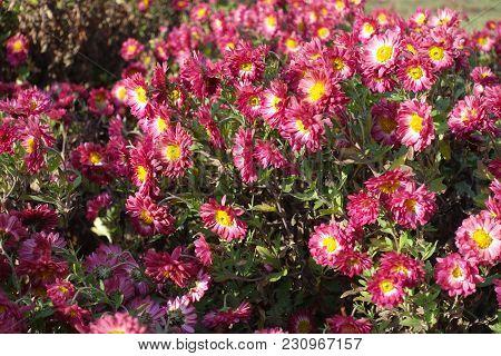 Cerise And White Daisy-like Flowers Of Chrysanthemum