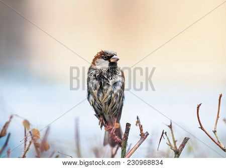Cute Funny Wet Little Bird Sparrow Sitting On A Prickly Bush, And Dries Feathers On A Sunny Spring D