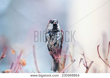 Portrait Of Cute Funny Wet Proud Sparrow Sits On Prickly Bush And Dries Feathers In Spring Garden