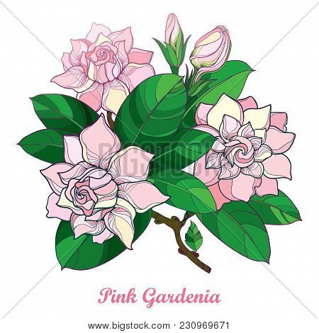 Vector Outline Pink Gardenia Flower Bouquet, Bud And Ornate Green Leaves Isolated On White Backgroun